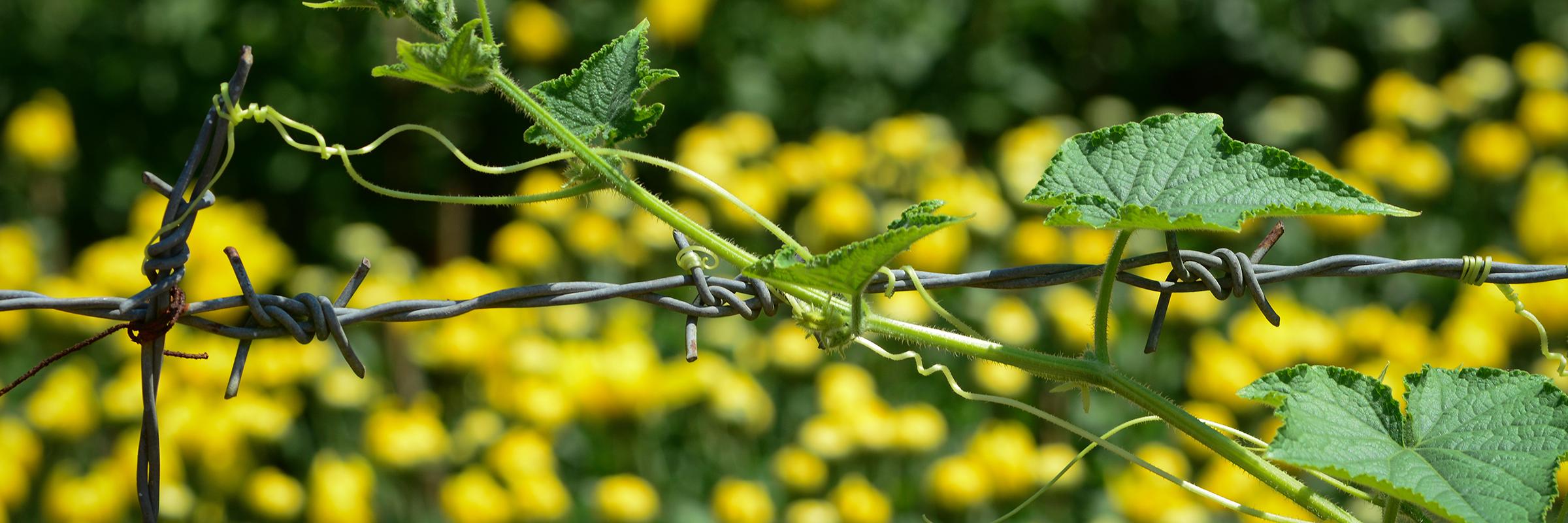 Luffa Plant Barb Wire – Slider