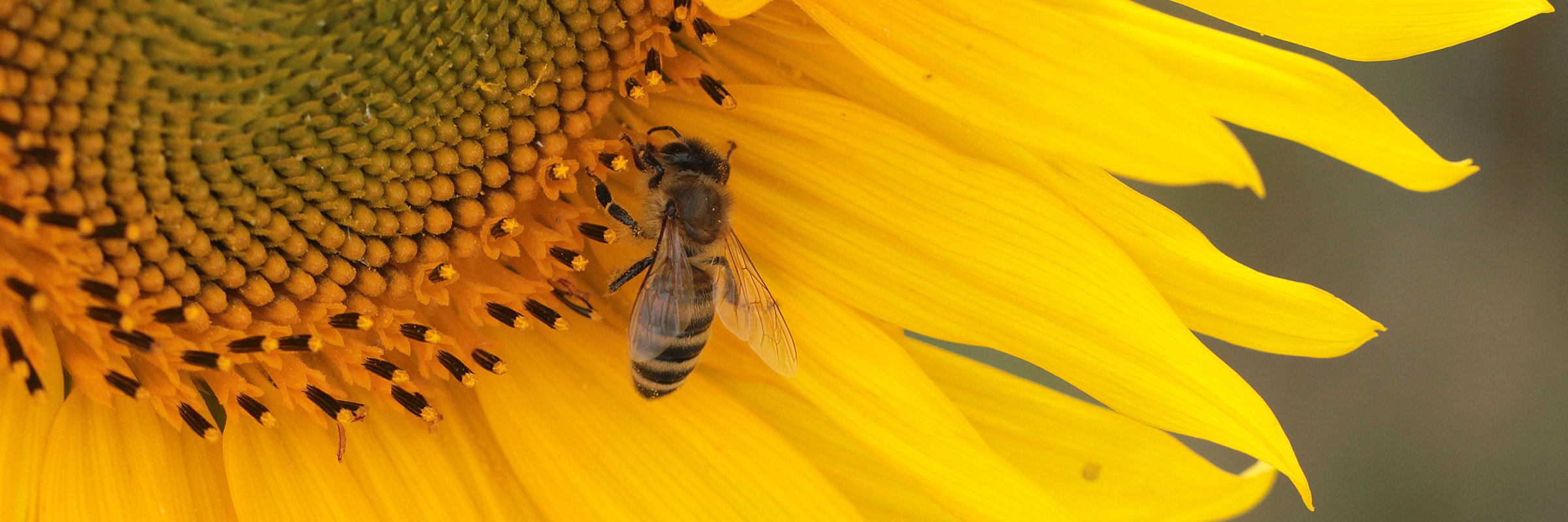 Sunflower Bee – Slider